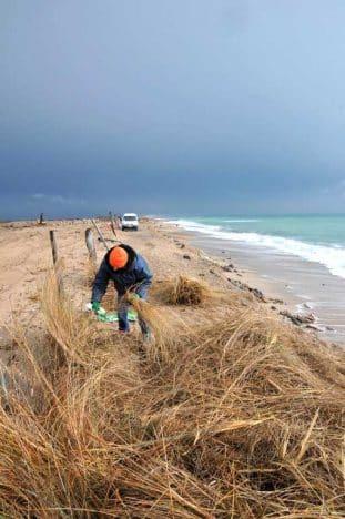 Génie écologique, Prélèvement et culture de plants d'espèces dunaires