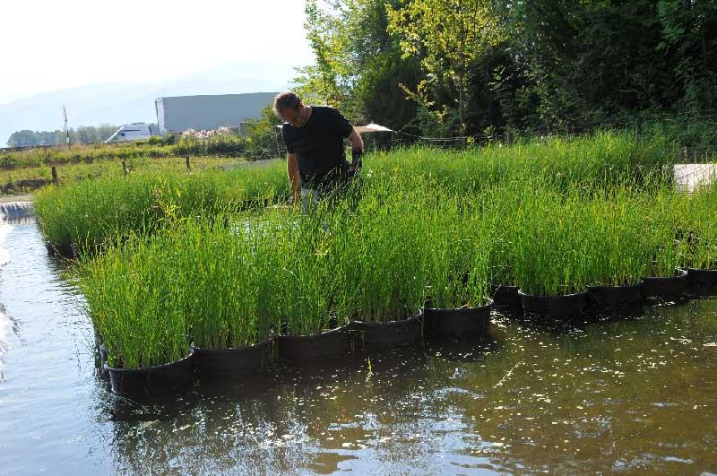 Génie végétal : mise en culture de la Petite Massette Typha minima