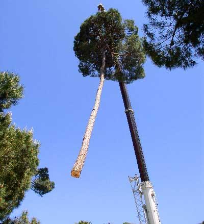 abattage d'un arbre et enlèvement dirigé par une grue