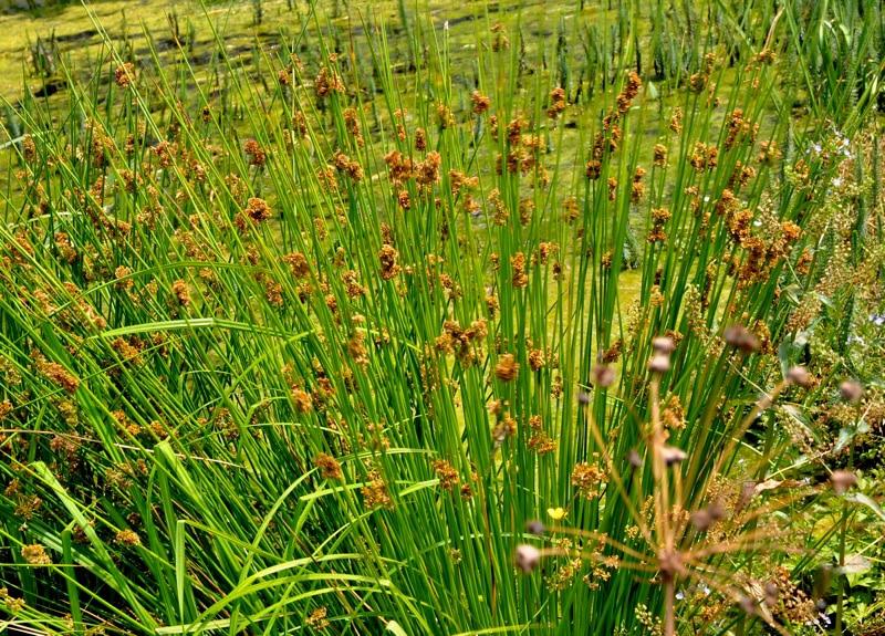 Phytoépuration : plantes hélophytes - Juncuns-effusus
