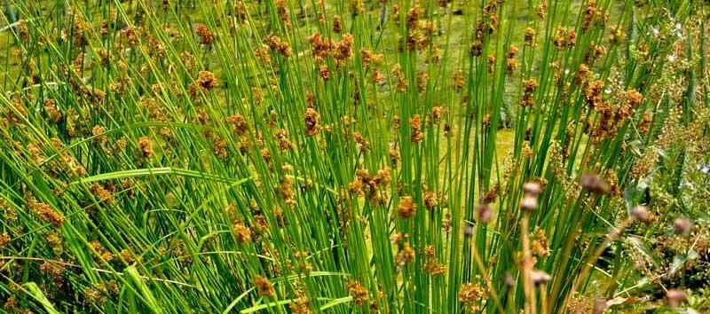 Le Génie écologique : mise en culture du Juncus-effusus