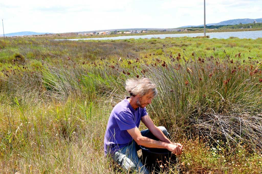 Génie écologique : récolte de matricaria-maritima / Matricaire maritime