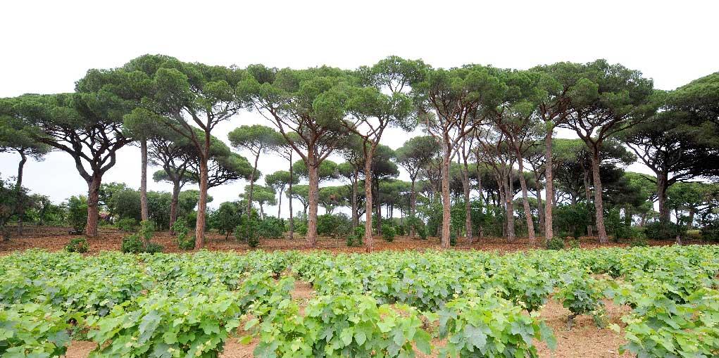 Sylviculture et travaux forestiers alignement de pins
