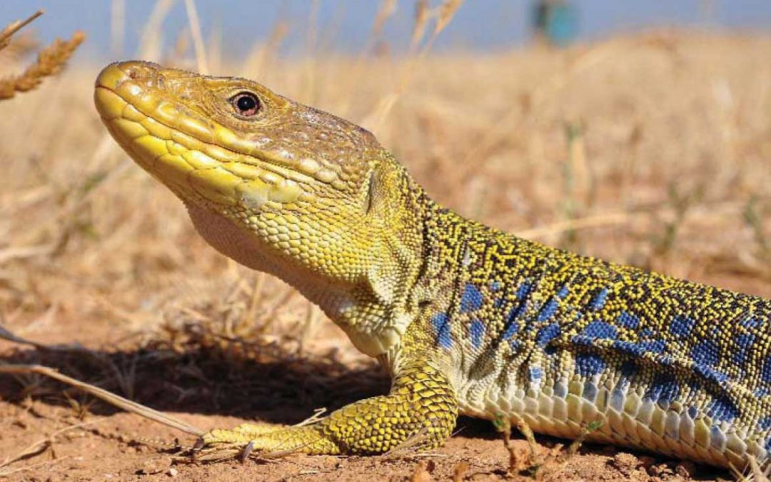 Génie écologique – mesure compensatoire : sauvegarde du lézard ocellé – Miramas (Bouches-du-Rhône,13)