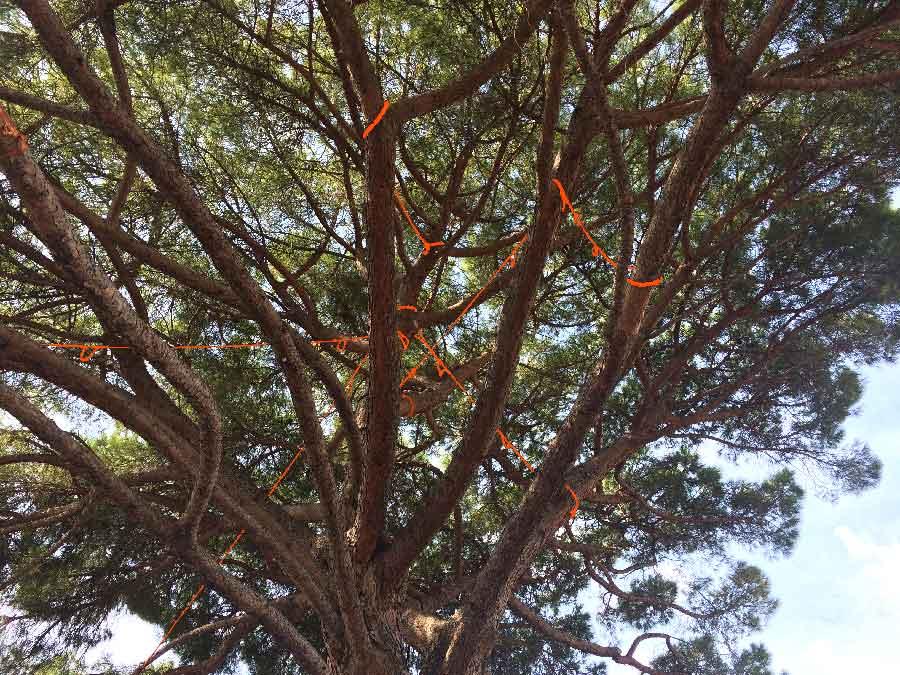 Haubanage d'arbre