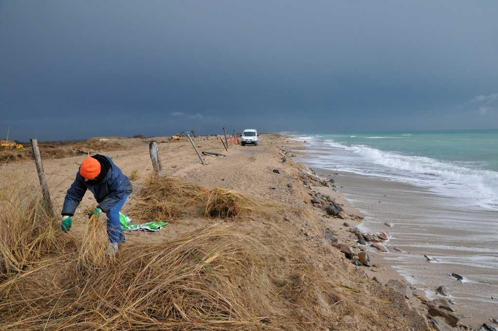 Prélèvement sur une dune d'oyats ou roseau des sables