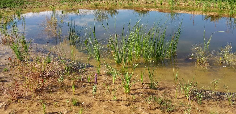 Mesures compensatoires - plantation d'hélophytes dans une mare, quelques mois après