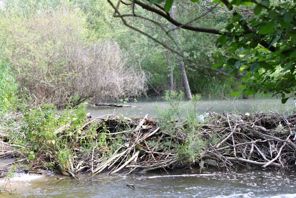 Restauration de cours d'eau, le castor s'est installé