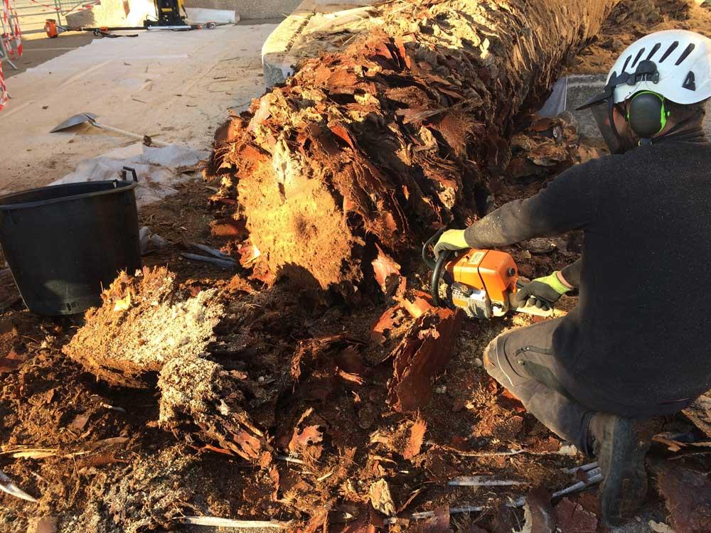 Abattage d'un palmier attaqué par le charançon rouge