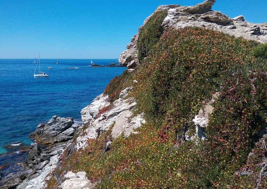 Griffes de sorcière sur la falaise de l'île du grand Rouveau