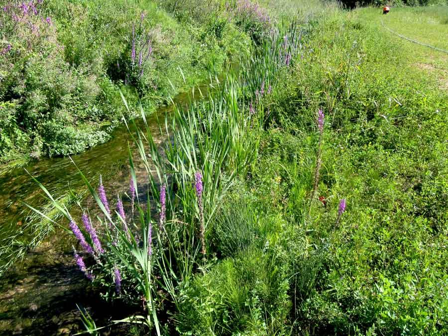 Génie végétal, plantes hélophytes