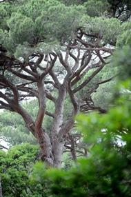 Elagage en taille douce d'arbres