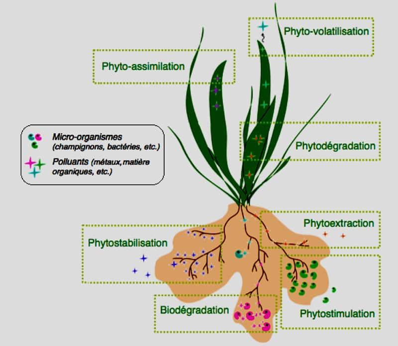 Phytoépuration, les trois composants bio-géo-chimiques