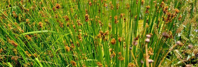 Phytoépuration plante Juncus effusus