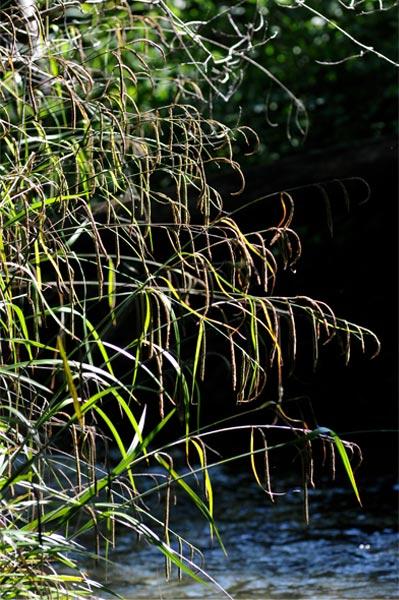Phytoépuration, plante épuratrice : Carex pendula