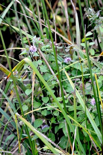 Phytoépuration, plante épuratrice : Mentha aquatica