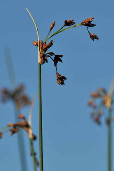 Phytoépuration, plante épuratrice : Scirpus lacustris