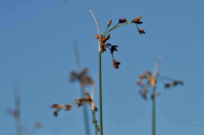 Une solution d'assainissement naturel par les plantes : la phytoépuration