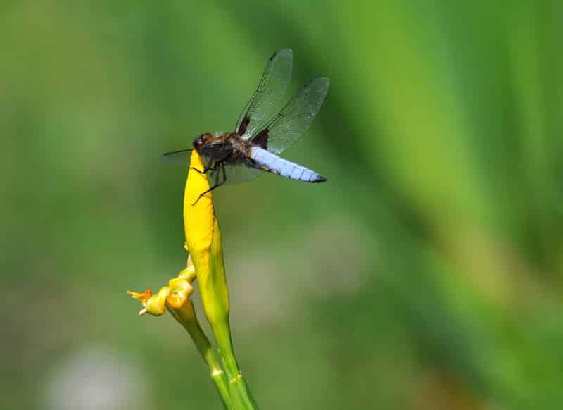 phytoépuration, plante épuratrice : Iris pseudacorus ou Iris des marais,