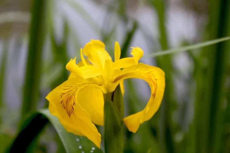Plante épuratrice utilisée en Phytoépuration : l'Iris pseudacorus