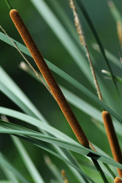 phytoépuration, plante épuratrice : typha ou massette