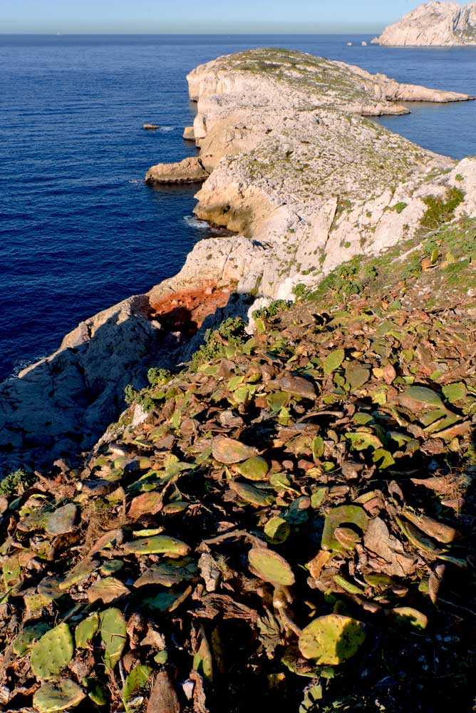Ile Jarre - des figuiers de Barbarie sur les falaises