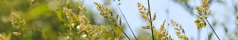 Phytoépuration plante épuratrice phalaris arundinacea