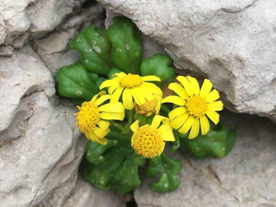 Plante protégée dans les calanques : Sénéçon à feuilles grasses - Senecio leucanthemifolius