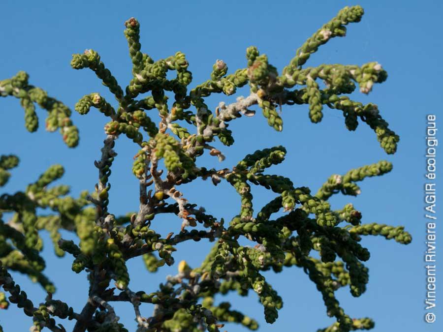 Plante protégée dans les calanques : Thymélée hirsute
