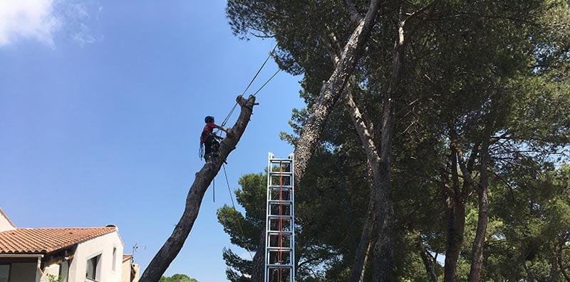 Abattage délicat d'un pin