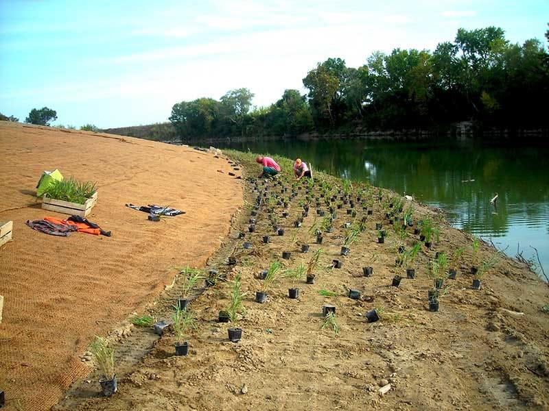 Plantation d'hélophyte