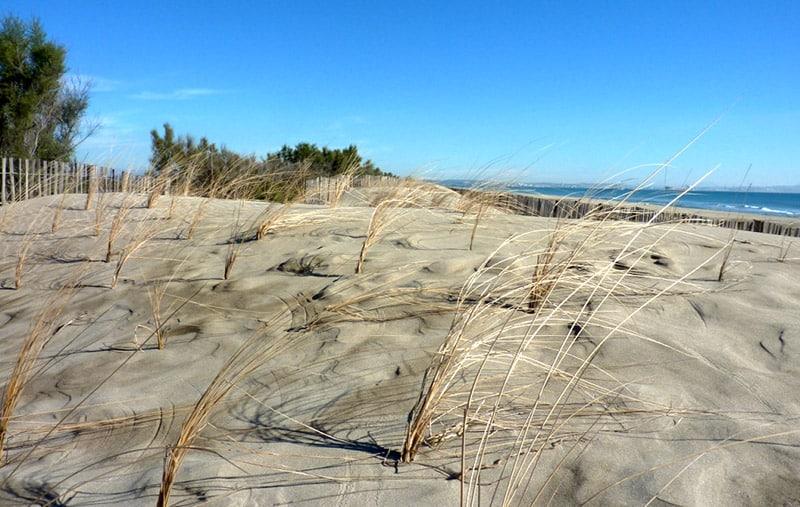Plantation d'oyats pour protéger le cordon dunaire